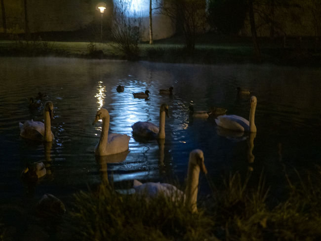 Water Group Of Animals Swimming Animal Wildlife Animals In The Wild Lake Animal Vertebrate Animal Themes Nature No People Bird Large Group Of Animals Beauty In Nature Night Plant Illuminated Reflection Floating Floating On Water Animal Family