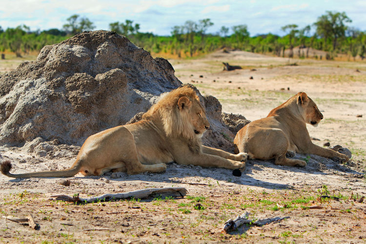 Lions resting by rock formation in hwange national park on sunny day