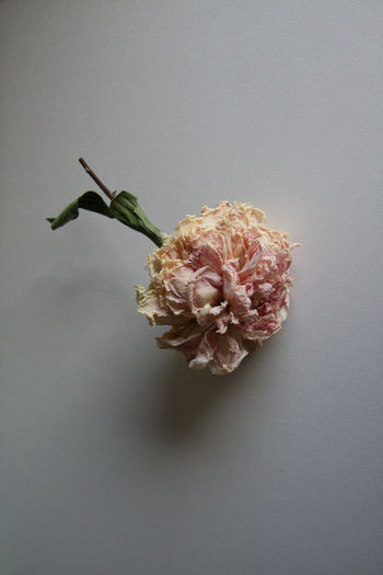 Copy Space Dry Petals Dying Flowers Paeonia StillLifePhotography Close-up Dead Flowers Dry Flower  Dryed Flower Dryed Peony Dying End Of Season  Flower Flower Head Flowers Fragility Melancholy Nature Neutral Background No People Peony  Pink Peony Senescence Still Life Studio Shot