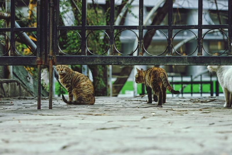 Cats by metallic gate