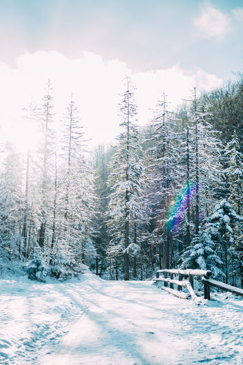 Snow Cold Temperature Winter Tree Nature Beauty In Nature Forest Coniferous Tree Pine Tree Pine Woodland Outdoors White Color Blue
