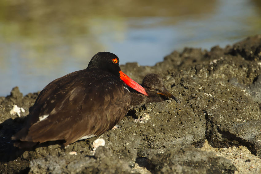 J'ai eu la chance, lors de mon séjour aux Galapagos, de voir grandir un jeune Huitrier d'Amérique, pendant les trois premières semaines de sa vie. En voici quelques photos. Age: 19 jours. While staying in Galapagos, I got to see a young American Oystercatcher grow during its first three weeks. Here are some pictures. 19 days old. Animals In The Wild EyeEm Nature Lover EyeEmNewHere Galapagos Growing Nature Nature Photography Wildlife & Nature Wildlife Photography Animal Themes Animal Wildlife Beauty In Nature Bird Birth Blackandwhite Cute Haematopus Palliatus Nature_collection Oystercatcher Sand Sea Seaside Series Sleeping Wildlife Focus On The Story The Portraitist - 2018 EyeEm Awards The Traveler - 2018 EyeEm Awards