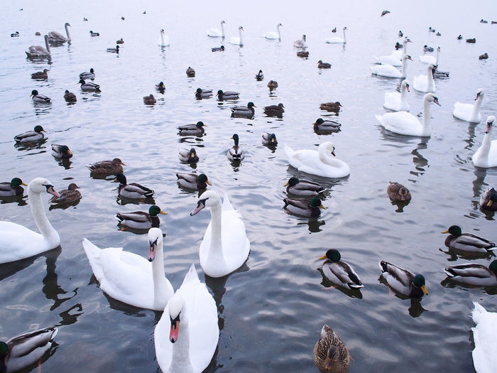 Swans And Ducks Swimming In Lake