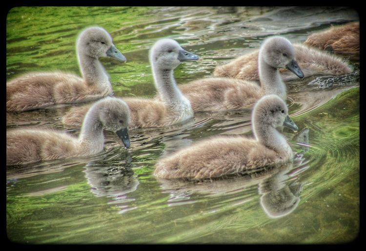 Lagan Canal Moira Northern Ireland Signet Swans Babies Natures Magic Exceptional Photographs EyeEm Birds Cute EyeEm Animal Lover Natures Diversities The Great Outdoors - 2016 EyeEm Awards EyeEm Gallery Beauty In Nature EyeEm Best Shots Nature Springtime Waterfowl Signets Family Of Swans Spring Birds Our Best Pics Nature_collection Baby Swans