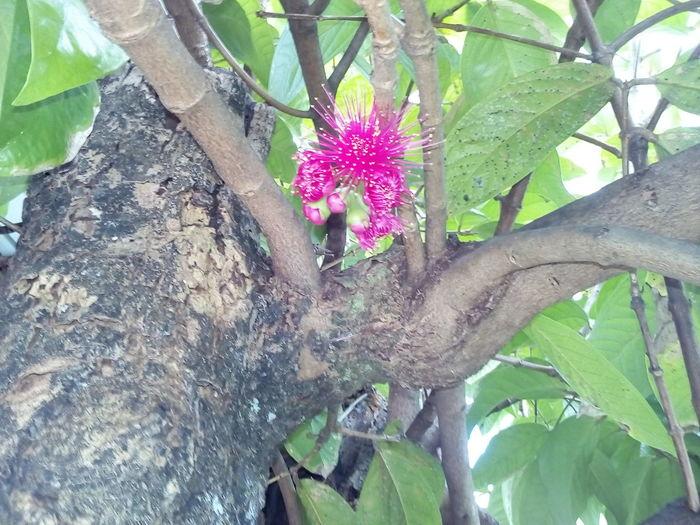 Tiare fleur endémique de Tahiti Flower Growth Plant