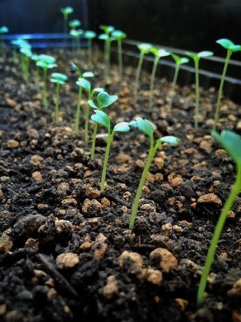 新芽 ベランダ菜園