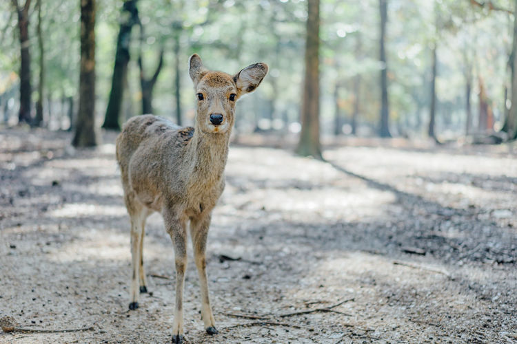 Portrait of deer standing on land