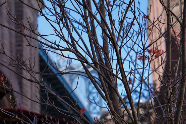 A Tree Grows in Brooklyn. NYC Photography New York City Sony A6000 New York State Brooklyn Manhattan Bridge Dogwood Tree Dogwoodflowers