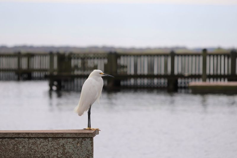 Egret standing on a wall overlooking harbour