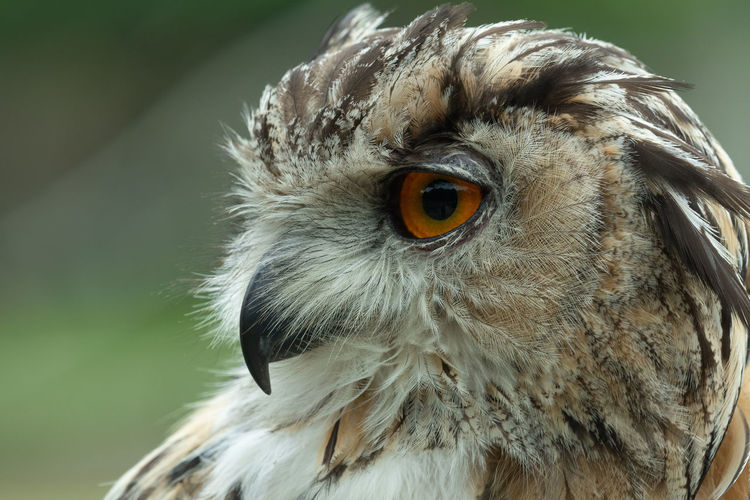 Head shot of a european eagle owl