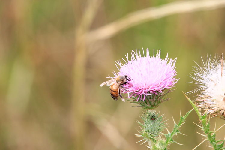 Abeja Abejas Animal Themes Animal Wildlife Animals In The Wild Beauty In Nature Bee Close-up Day Flower Fragility Freshness Growth Insect Nature No People One Animal Outdoors Plant Polinización Polinization Pollination Purple Symbiotic Relationship Thistle