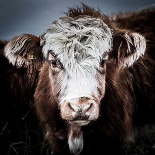 A close up portrait of a rare breed highland cow with long hair looking directly at the camera