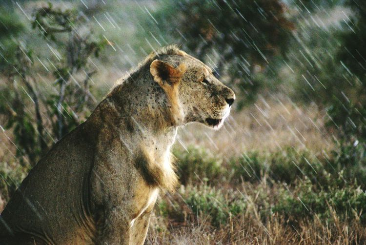 Lion sitting in zoo during rainy season