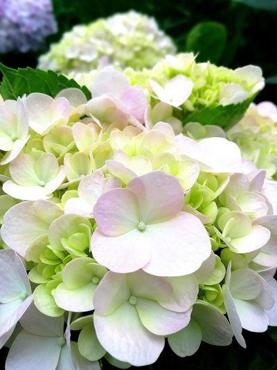 Malaysia Day Flower Hydrengea White Pretty Beautiful Genting Highlands Malaysia Blooming Freshness