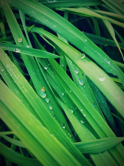Rain Drops Drop Water Wet Green Color Leaf Growth Close-up Droplet Season  Dew Full Frame Plant Freshness Water Drop Blade Of Grass Backgrounds Beauty In Nature Nature Purity Green