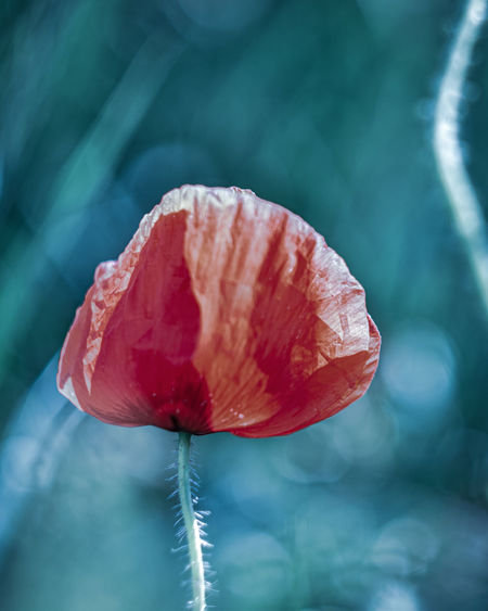 Exceptional Photographs Silhouette Bokehlicious Bokeh Lights Bokeh Love Poland EyeEm Nature Lover Flower Flower Head Red Leaf Close-up Blooming Poppy Plant Life Single Flower Fragility Growing In Bloom