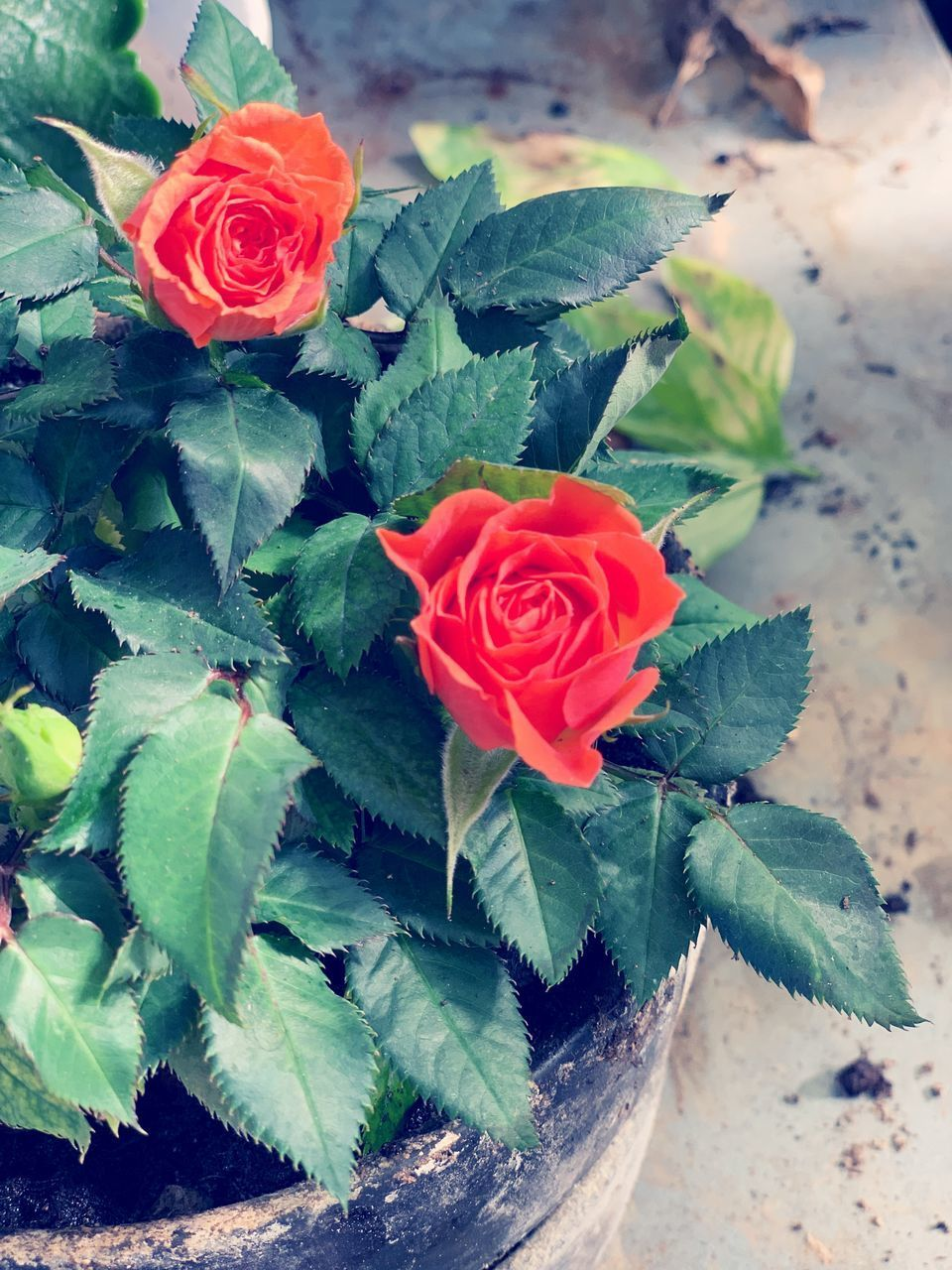 flower, flowering plant, beauty in nature, rose, leaf, plant, plant part, petal, flower head, freshness, inflorescence, rose - flower, vulnerability, close-up, fragility, nature, red, high angle view, no people, green color, outdoors, flower arrangement, bouquet