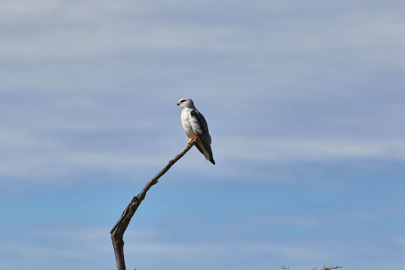 Black winged kite on a branch