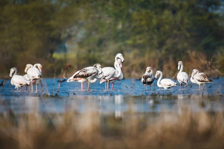 Lesser flamingos in a lake