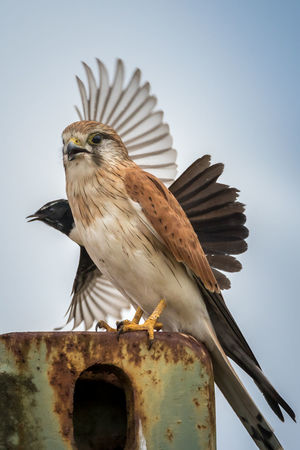 Photobombed Animal Wildlife Avian Bird Bird Of Prey Birds Buzzed Close-up Day Fun In Nature Funny FUNNY ANIMALS Interaction Kestrel Nature Outdoors Perching Sky Two Birds Wagtail Wildlife
