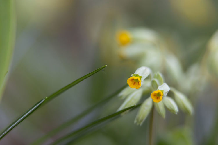 cowslip primrose Flower Flowering Plant Plant Fragility Vulnerability  Growth Freshness Beauty In Nature Close-up Petal Flower Head Inflorescence Nature Yellow No People Selective Focus Plant Stem Day Focus On Foreground Outdoors Cowslip Primrose Cowslip
