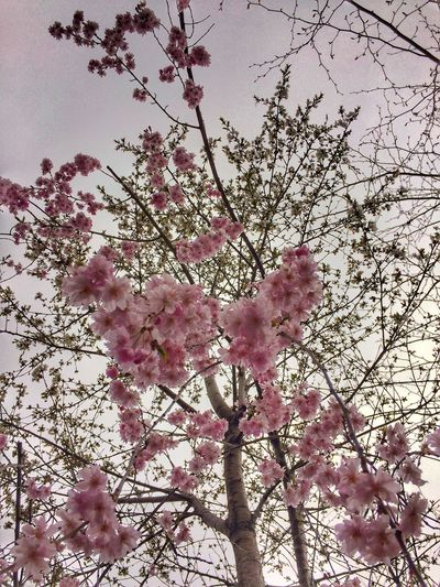 First Blooms Tadaa Community Flower Pink Color Tree Beauty In Nature Nature Growth Blossom Branch Fragility Low Angle View Petal Freshness No People Springtime Pink Blooming Sky Day Flower Head Outdoors