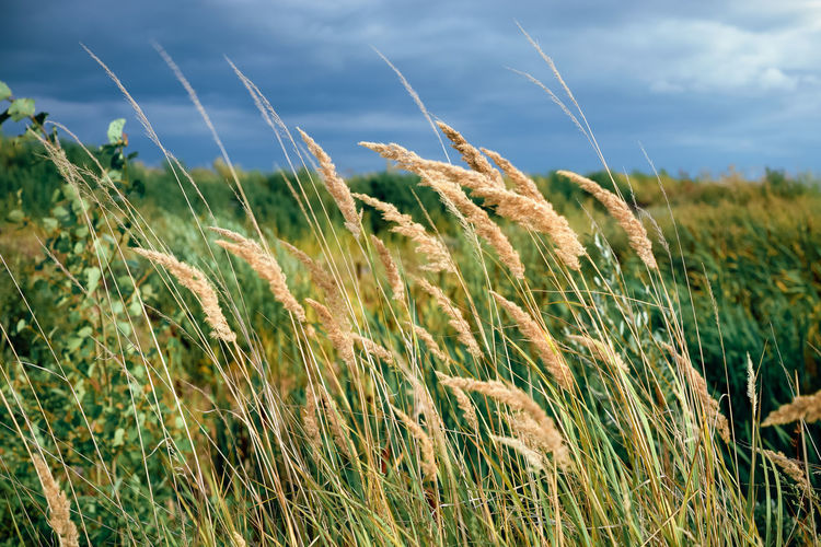 dry reeds in