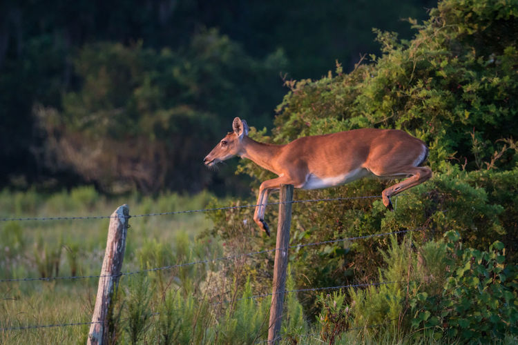 Florida White Tailed Deer jumping barbed wire fence. Barbed Wire Effortless Animal Wildlife Deer Effortless Looking But So Much Strength, Balance$ Concentration Is Required When Doing Lifts Fence Florida Jumping Leaping One Animal Outdoors White Tailed Deer The Great Outdoors - 2018 EyeEm Awards