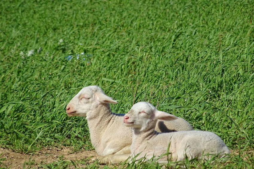 Animal Themes Young Animal Agneaux Nature Animaux ❤️ Brebis Moutons Chèvres Fleurs Chevreau