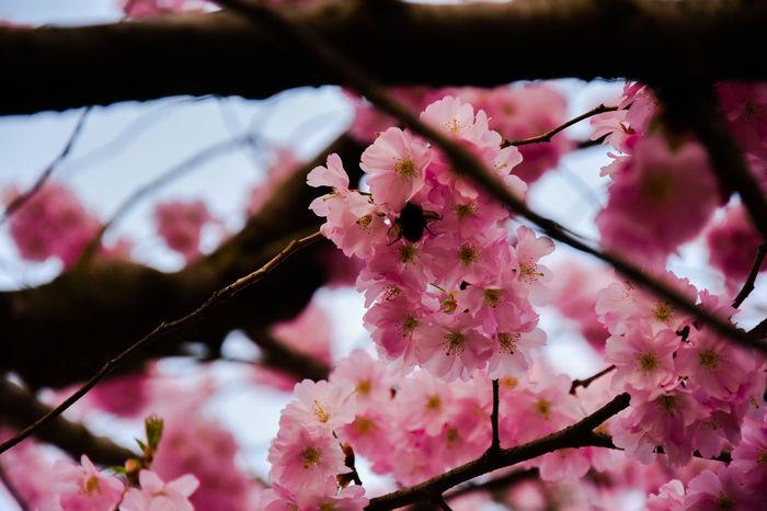 Flower Head Flower Tree Branch Springtime Pink Color Plum Blossom Blossom Close-up Sky