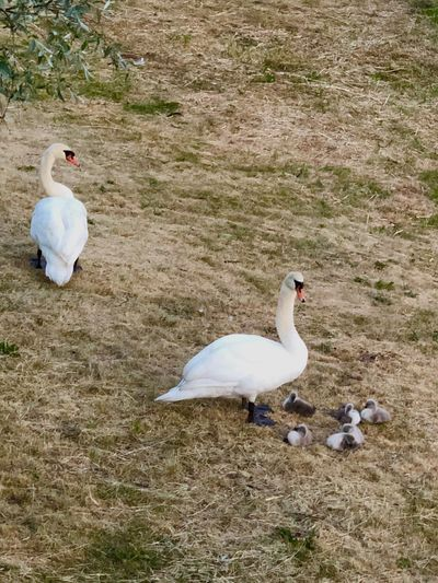 Bird Animal Animal Themes Vertebrate Animal Wildlife Animals In The Wild Group Of Animals Nature Land Day High Angle View Two Animals No People White Color Water Field Beach Outdoors Water Bird Swan