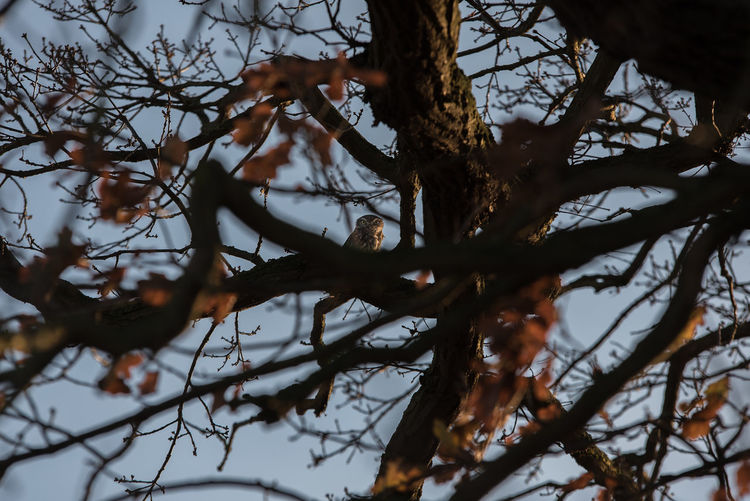 Beauty In Nature Branch Close-up Day Littleowl Low Angle View Nature No People Outdoors Owl Tree