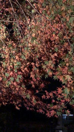 紅葉🍁🍁 Nature Growth Full Frame No People Beauty In Nature Close-up Tree Freshness Outdoors Day 11月 Iphone7 Love Japan EyeEm Behappy Hello 大満足 幻想的 Night 紅葉 清水の滝 小城市 佐賀県 竹灯り