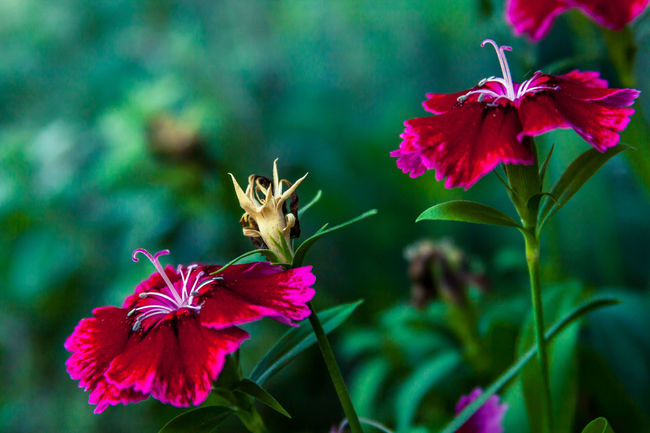 Beauty In Nature Blooming Close-up Day Flower Flower Head Fragility Freshness Green Leaves Backfround Growth Nature No People Outdoors Petal Pink Color Pink Flowers Plant