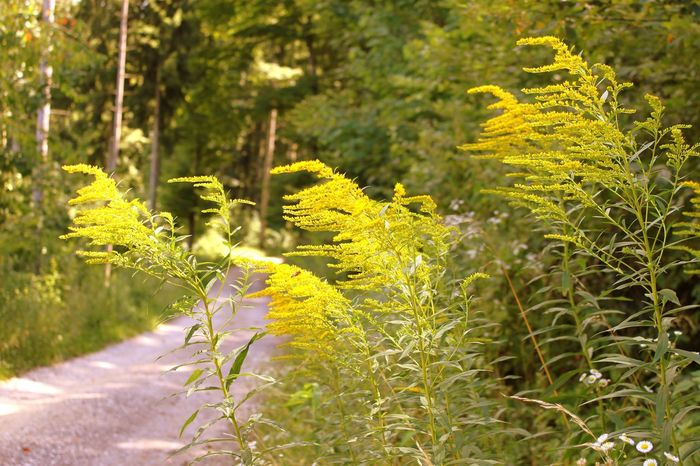 Wildflower Outdoors Beauty In Nature Day Uncultivated Beauty Freshness Forest HJB Yellow Green Planzen Blumen Natur
