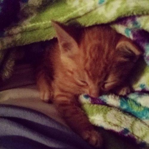 Just another kitteh photo! Kittyspam Sorrynotsorry Sumah Gingerkitty