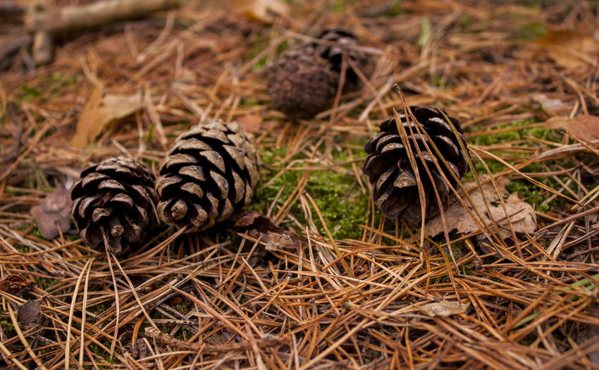 Winter WoodLand Close-up Day Forest Grass Nature No People Outdoors Pinecone Woodland Bed Perspectives On Nature EyeEmNewHere