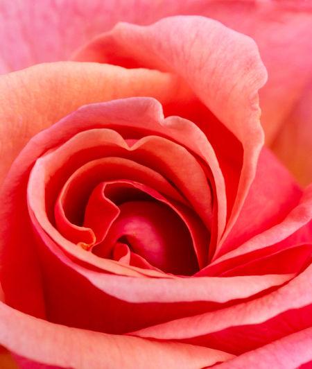 Full frame shot of pink rose