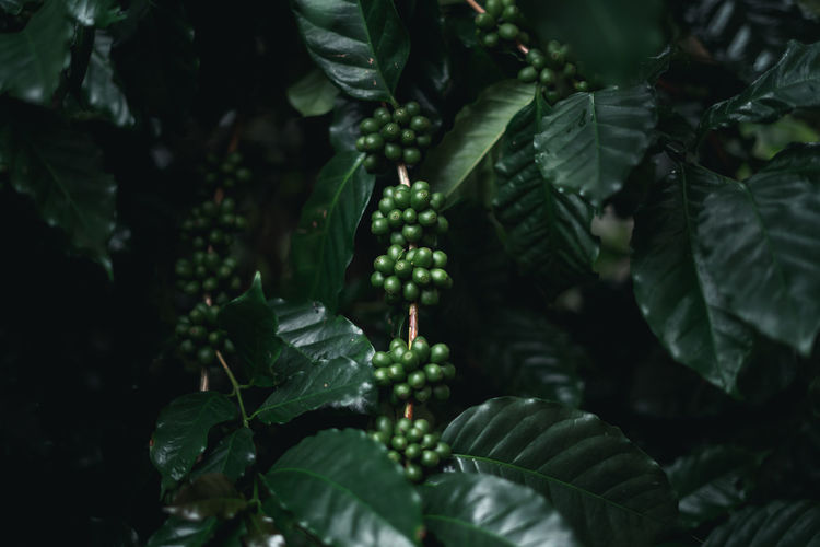 Wild coffee Arabica Dark green coffee In nature Agriculture Beauty In Nature Berry Fruit Close-up Day Food Food And Drink Freshness Fruit Green Color Growth Healthy Eating Leaf Leaves Nature No People Outdoors Plant Plant Part Selective Focus Wellbeing