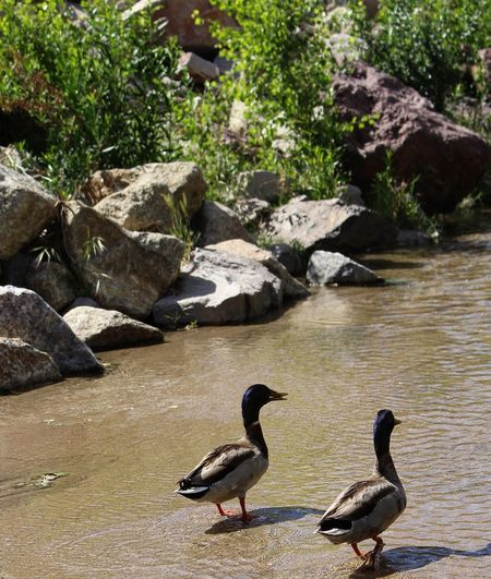 Animals In The Wild Ducks Nature Water Outdoors River