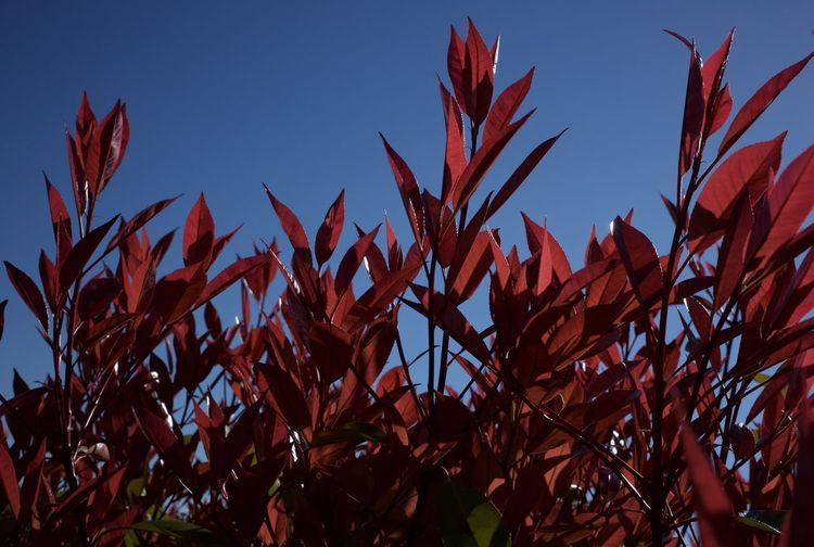 Low angle view of red leaves growing against clear blue sky