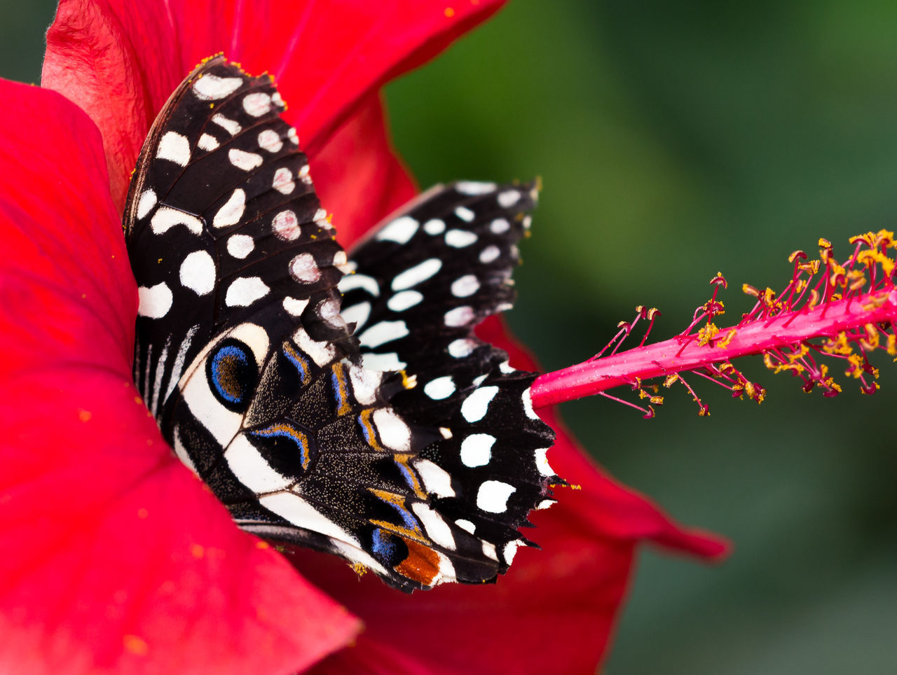 animal themes, animals in the wild, insect, butterfly - insect, red, one animal, animal markings, animal wildlife, spotted, close-up, nature, no people, day, butterfly, plant, freshness, beauty in nature, outdoors, fragility, pollination, flower, flower head