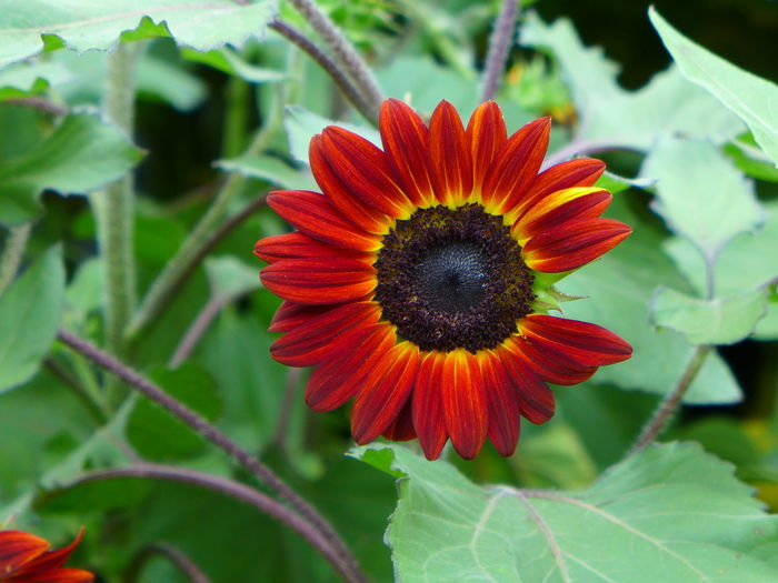 RedBlack Beauty In Nature Close-up Day Flower Flower Head Flowering Plant Focus On Foreground Fragility Freshness Growth Inflorescence Leaf Nature No People Outdoors Petal Plant Plant Part Pollen Red Sunflower Bloom Vulnerability