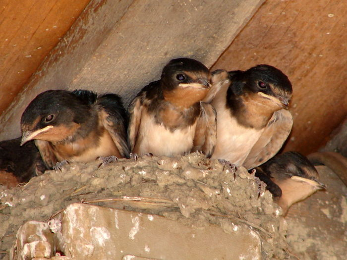 Animal Themes Baby Birds Barn Barnswallow Bird Close-up Day Domestic Animals Immature Birds Mammal Nature New Jersey No People Outdoors
