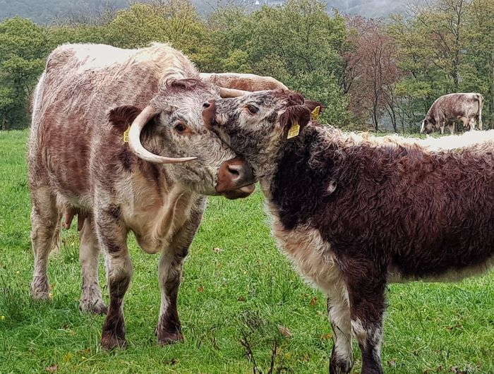 Love Care Galloway Rinder Galloway Cattle Field Grass Cow Calf Two Animals