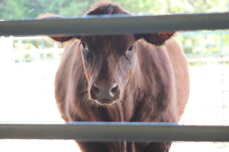 Calf Cow Cow