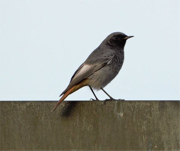 Birds Animal Animal Themes Animals In The Wild Avian Beak Bird Black Redstart Focus On Foreground Full Length Grassland Hausrotschwanz Nature No People One Animal Outdoors Perching Side View Wildlife Zoology