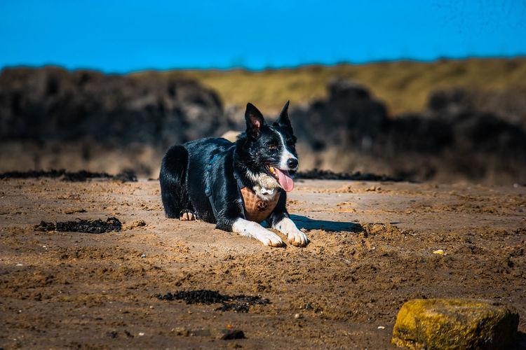 Portrait of black dog on sand