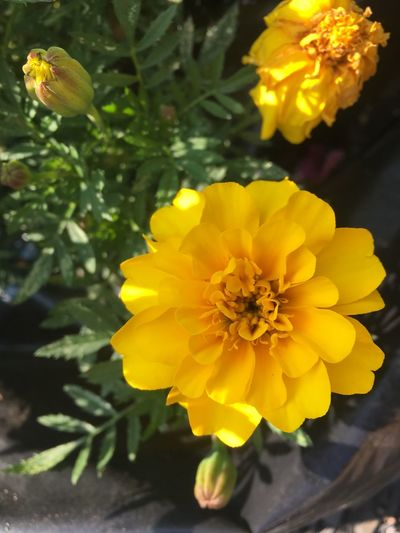 Flower Yellow Fragility Flower Head Beauty In Nature Nature Freshness Growth Blooming Plant Outdoors Close-up
