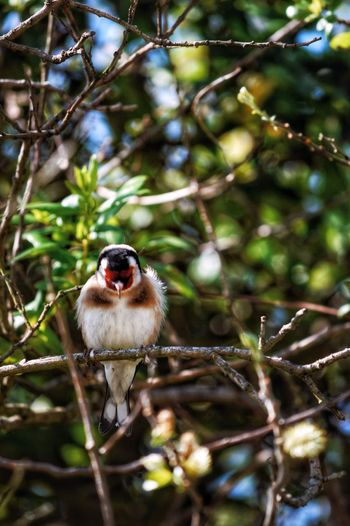 Carduelis carduelis Sunny Day Ornithology  Life Freedom Nature Bird Bird Photography 300mm Free Bird Birding Nikon Tree One Animal Plant Animal Wildlife Vertebrate Mammal Animals In The Wild Branch Nature Portrait Day Forest Outdoors Selective Focus